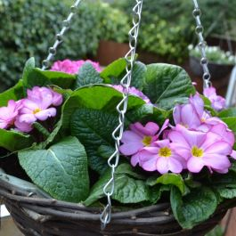 Primula 'Woodland Rose' | 30cm Pre-Planted Hanging Basket