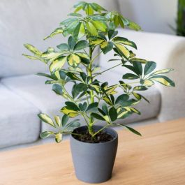 Schefflera heptapleurum 'Gold Capella' | 13cm Pot | By Plant Theory