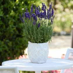 Lavandula 'Blue Spear' | 20 Bedding Plants | 5cm Plugs