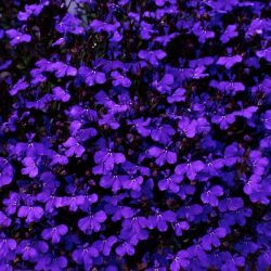 Lobelia 'Crystal Palace' | 20 Bedding Plants | 5cm Plugs