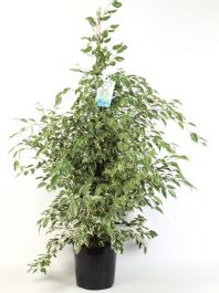 145cm Variegated Ficus benjamina 'Starlight' | 27cm Pot | By Plant Theory