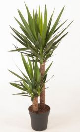100cm 2 Cane Yucca | Pot 21cm | By Plant Theory