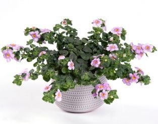 Bacopa Yakima 'Pink Eye' | 9cm Pot