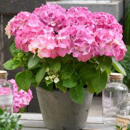 Hydrangea Forever & Ever 'Pink' | 5L Pot