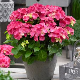 Hydrangea Forever & Ever | White and Red Mix | 5L Pot