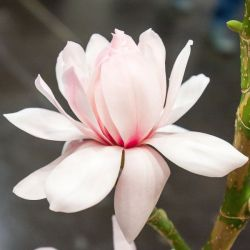 240cm Magnolia 'Pink Beauty' | Full Standard | 15 Litre Pot