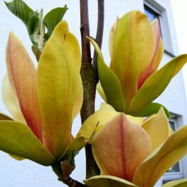 240cm Magnolia 'Sunsation' | Full Standard | 15 Litre Pot