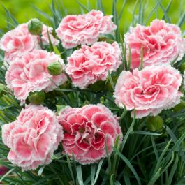 Dianthus Scented 'Coral Reef' | 2L Pot