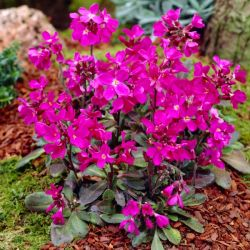 Rock Cress | Arabis blepharophylla | 10.5cm Pot