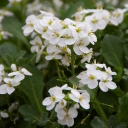 Mountain Rock Cress | Arabis caucasica 'Little Treasure' | 10.5cm Pot