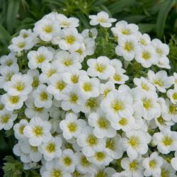 Mountain Daisy | Arenaria montana 'White' | 10.5cm Pot