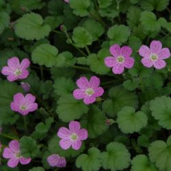Storksbill | Erodium x variabile 'The Bishop's Form' | 10.5cm Pot