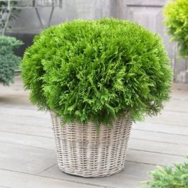 Thuja occidentalis Danica | 1L