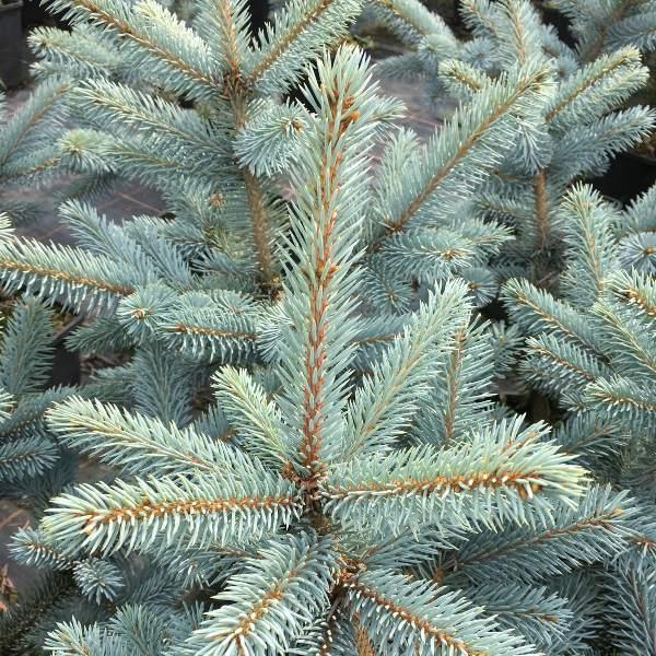 2ft 'Hoopsii' Blue Spruce Tree | 4.5L Pot | Picea Pungens
