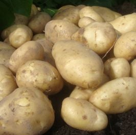 1kg 'Arran Pilot' Seed Potatoes | First Early