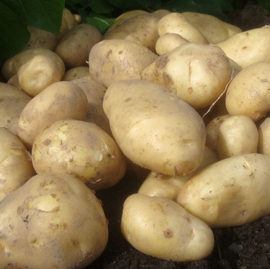 2kg 'Arran Pilot' Seed Potatoes | First Early