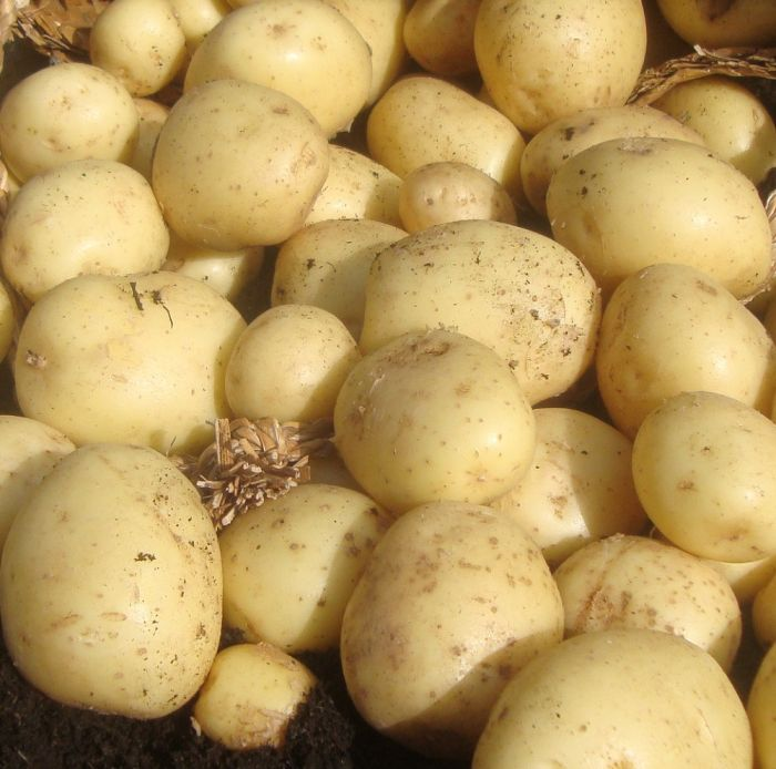 1kg 'Casablanca' Seed Potatoes | First Early