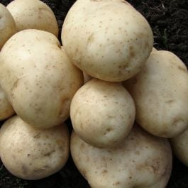 1kg 'Pentland Javelin' Seed Potatoes | First Early