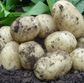 1kg 'Swift' Seed Potatoes | First Early