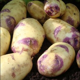 1kg 'Kestrel' Seed Potatoes | Second Early