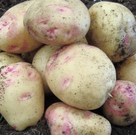 1kg 'Cara' Seed Potatoes | Maincrop