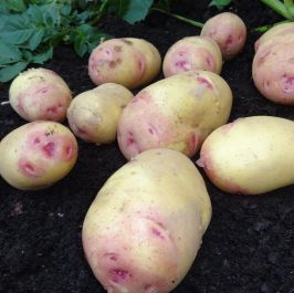 1kg 'Carolus' Seed Potatoes | Maincrop