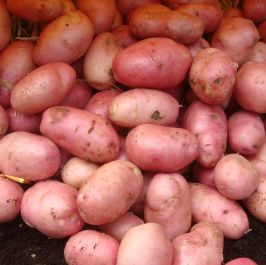 2kg 'Desiree' Seed Potatoes | Maincrop