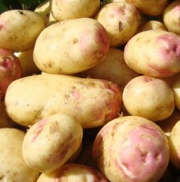 2kg 'King Edward' Seed Potatoes | Maincrop
