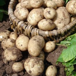 2kg 'Maris Piper' Seed Potatoes | Maincrop