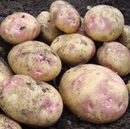 1kg 'Picasso' Seed Potatoes | Maincrop