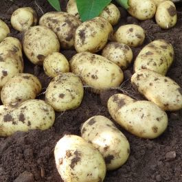 2kg 'Charlotte' Seed Potatoes | Second Early | Salad