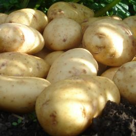 1kg 'International Kidney' Seed Potatoes | Maincrop | Salad