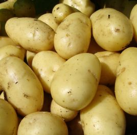 1kg 'Nicola' Seed Potatoes | Second Early | Salad