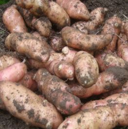 1kg 'Pink Fir Apple' Seed Potatoes | Maincrop | Salad
