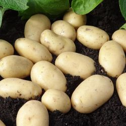 1kg 'Jazzy' Seed Potatoes | Second Early | Salad