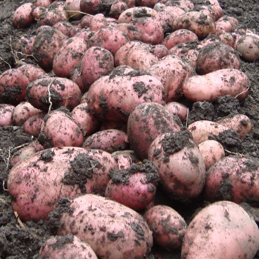 1kg 'Rooster' Seed Potatoes | Maincrop