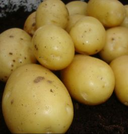 1kg 'Vivaldi' Seed Potatoes | Maincrop