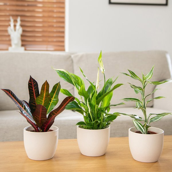 Air Purifying Collection | Peace Lily, Croton 'Icetone' & Dracaena Sanderiana 'White Stripe'