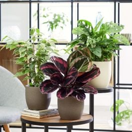 Large Foliage Plant Collection | 'Surprise Star' Calathea, Ficus Benjamina & Monkey Leaf Monstera