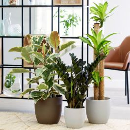 Extra Large Houseplant Collection | Dracaena 'Massangeana', Zamioculcas 'Raven', Variegated Rubber Plant