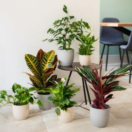 Houseplant Hoarder Collection | 6 Large Plants