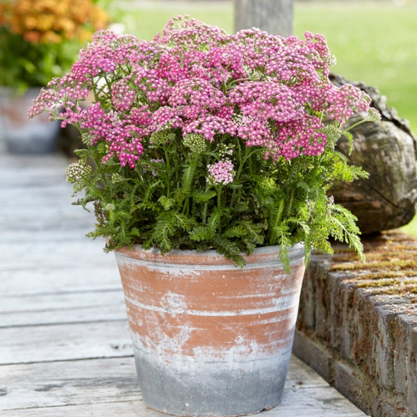 Achillea millefolium 'Milly Rock Rose' | 10.5cm Pot