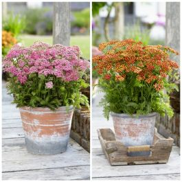 Achillea millefolium 'Milly Rock Rose & Red' Collection | 3 x 10.5cm Pots