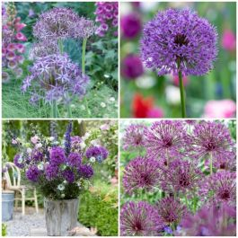 3 x Allium Plants | Abundant Allium Collection | 3 x 13cm Pots