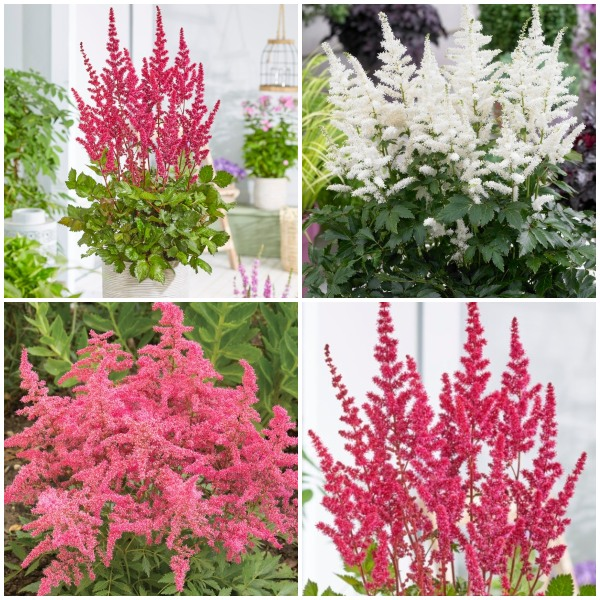 3 x Astilbe Plants | Astary Series Collection | 3 x 10.5 cm Pots