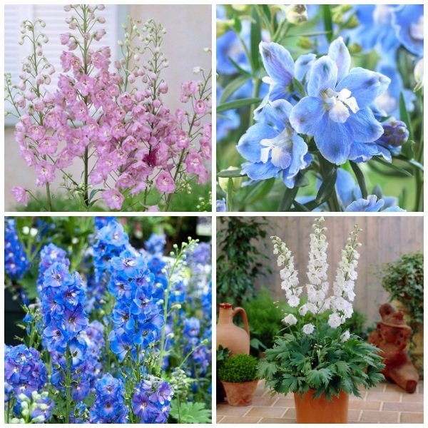 Delphinium 'Magic Fountain' Collection | 3 x 2L Pots