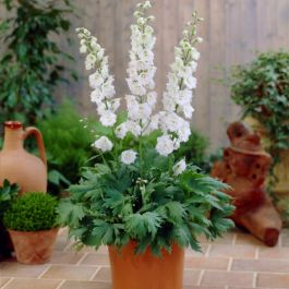 Delphinium 'Magic Fountain Pure White' | 2L Pot