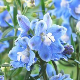 Delphinium 'Magic Fountain Sky Blue' | 2L Pot