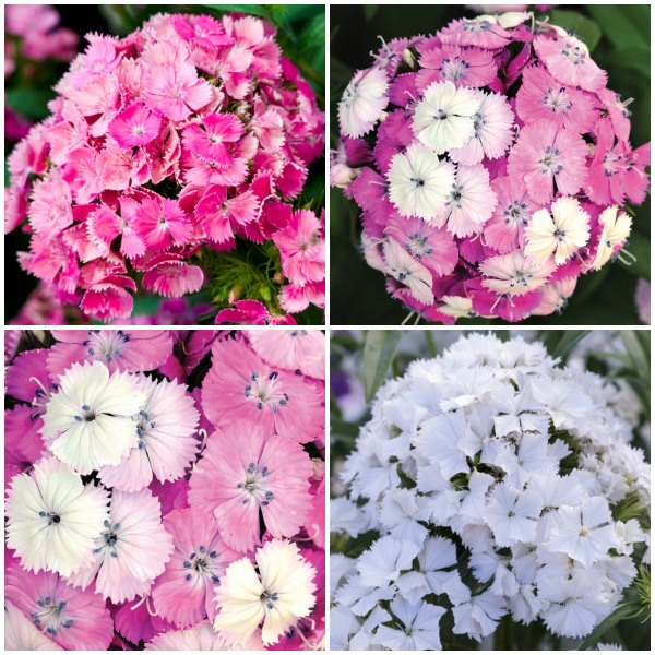 3 x Dianthus Plants | Dianthus Dash F1 Collection | 3 x 10.5cm Pots