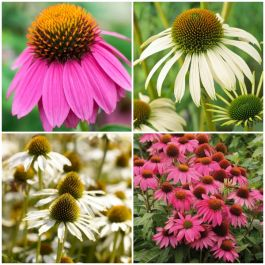 3 x Echinacea Plants | Echinacea purpurea Collection | 3 x 10.5cm Pots